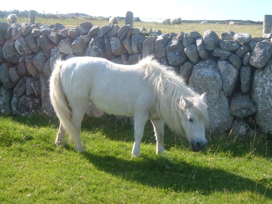 A pony, on the way to Three Castle Head
