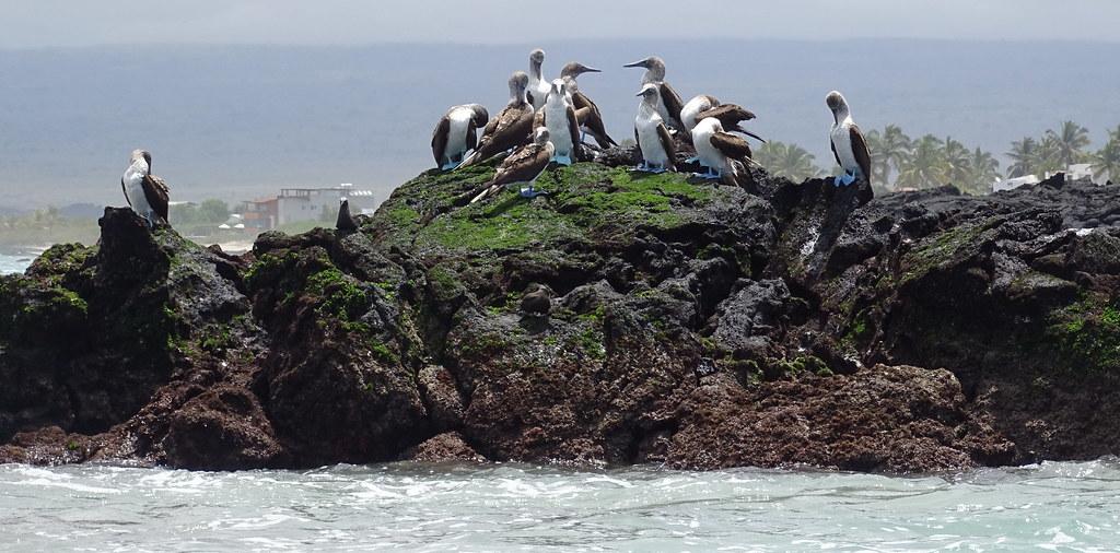 Fauna Islote Tintoreras Isla Isabela Parque Nacional Galapagos Ecuador 13