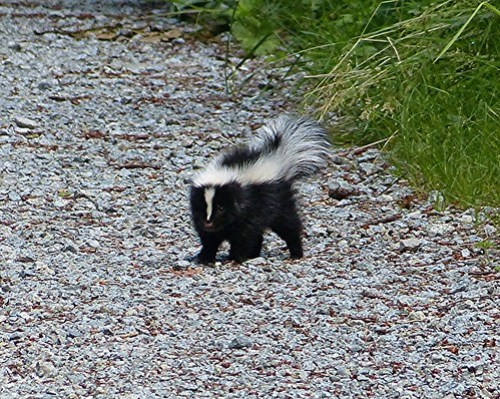 Things to do in Vancouver: Skunk