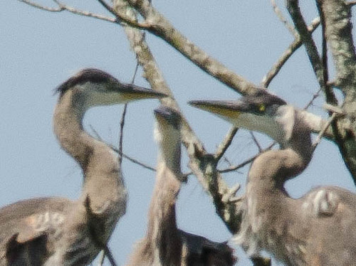 Heron Rookery at Lake Connestee-010