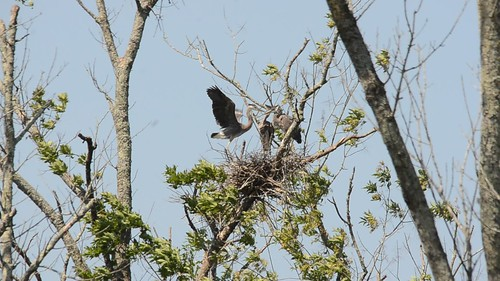 Heron Rookery at Lake Connestee-002
