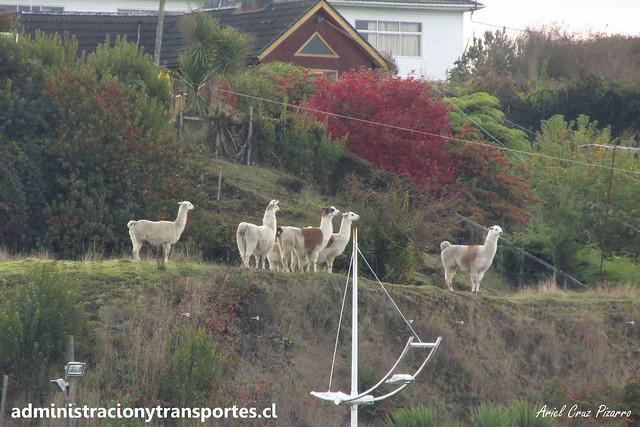 Llamas - Chonchi - Chiloé