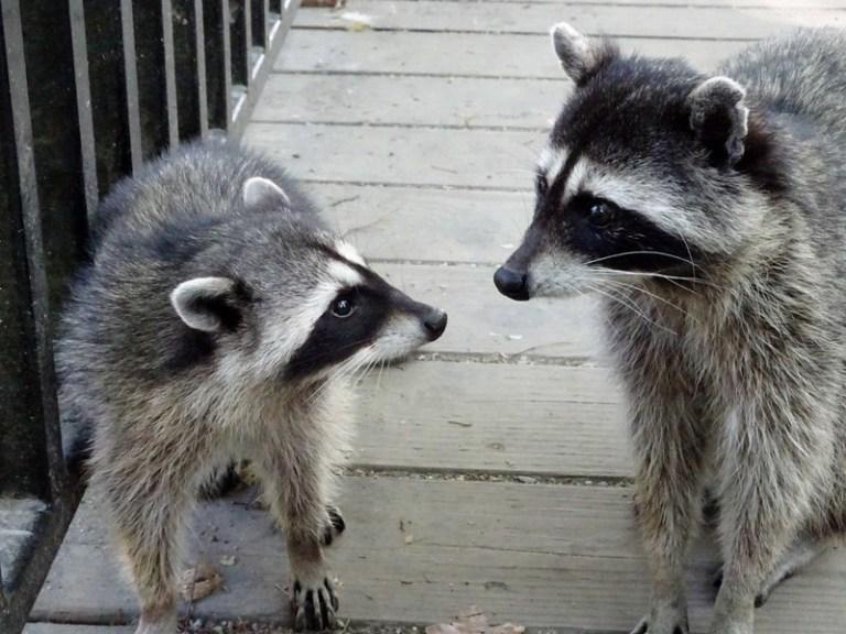 Raccoons, Stanley Park, Vancouver - the tea break project solo travel blog