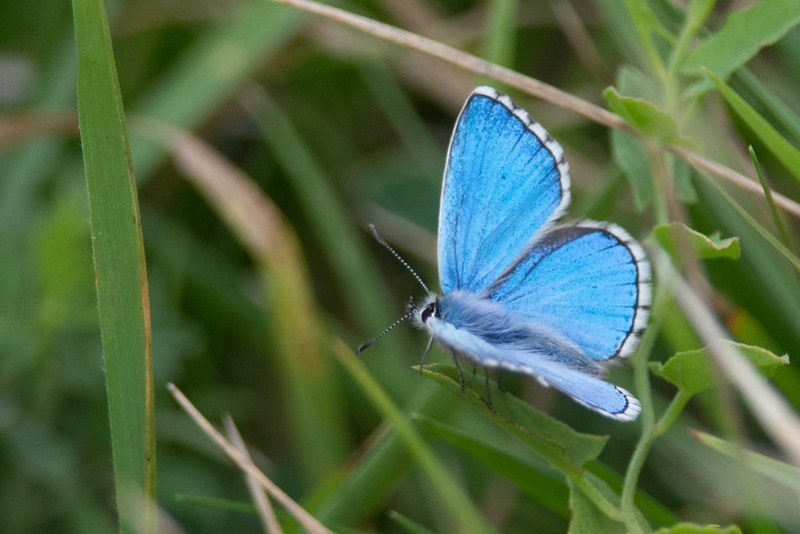 Male Adonis Blue