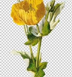 common poppy opium poppy flower poppy png clipart [ 728 x 1185 Pixel ]