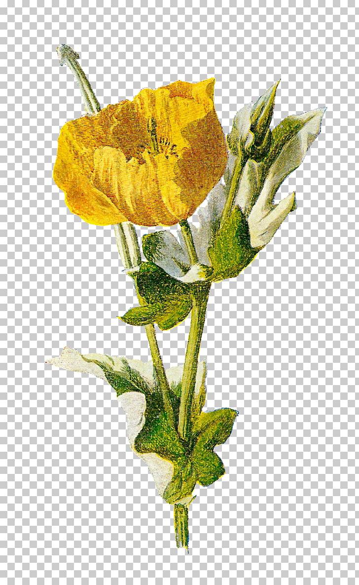 hight resolution of common poppy opium poppy flower poppy png clipart