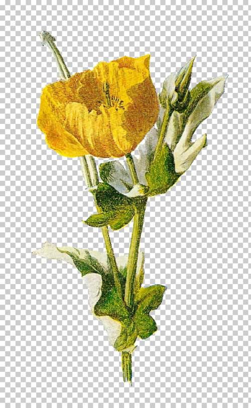 small resolution of common poppy opium poppy flower poppy png clipart