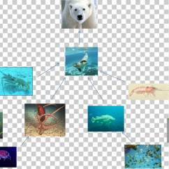 Arctic Fox Food Chain Diagram 3 Wire Microphone Wiring Polar Bear Png Clipart Free