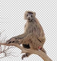 baboon clipart [ 728 x 1092 Pixel ]