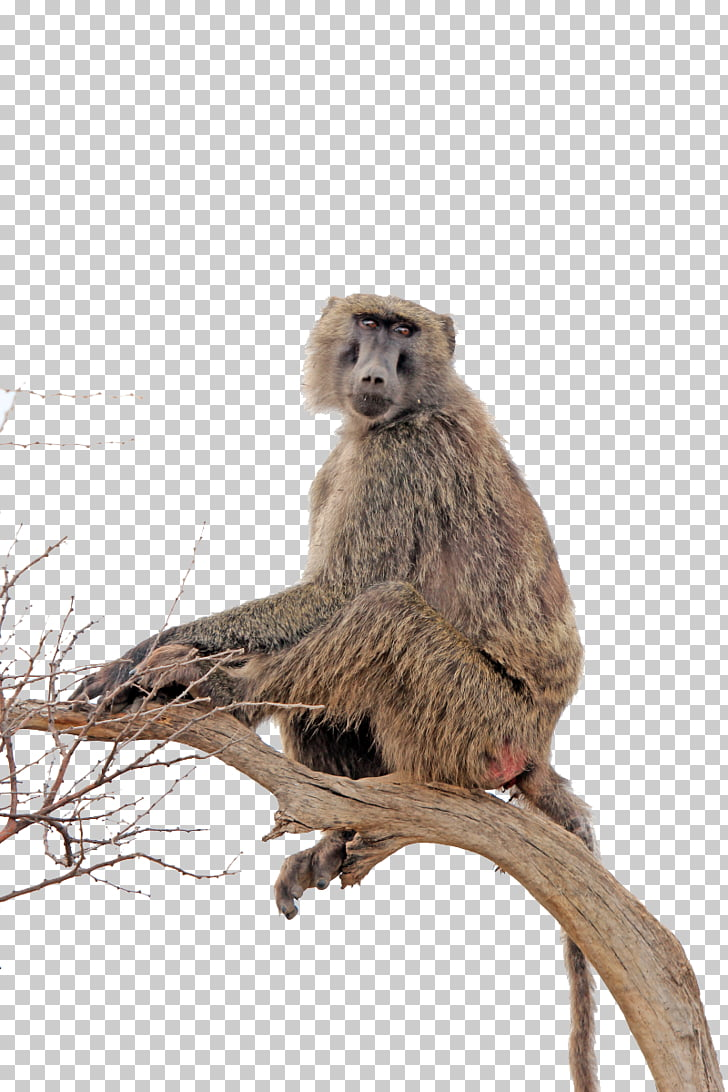 hight resolution of baboon clipart