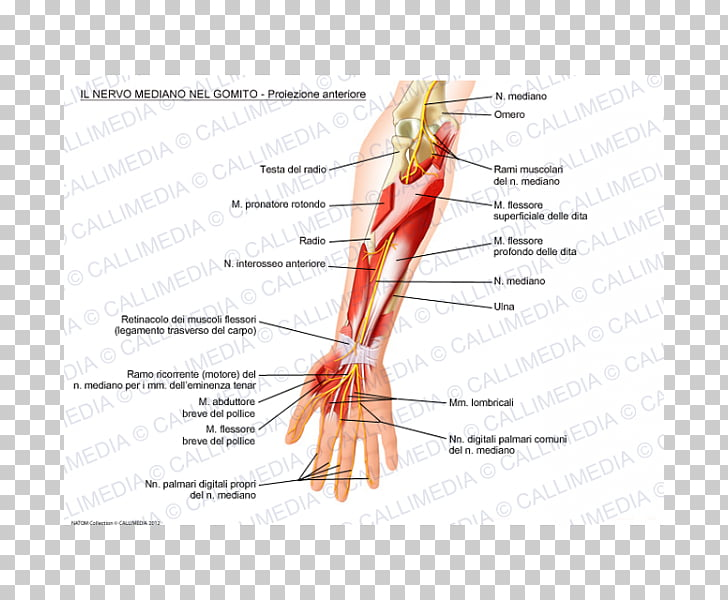 ulnar nerve diagram pioneer deh p4100ub wiring thumb median elbow others png clipart free