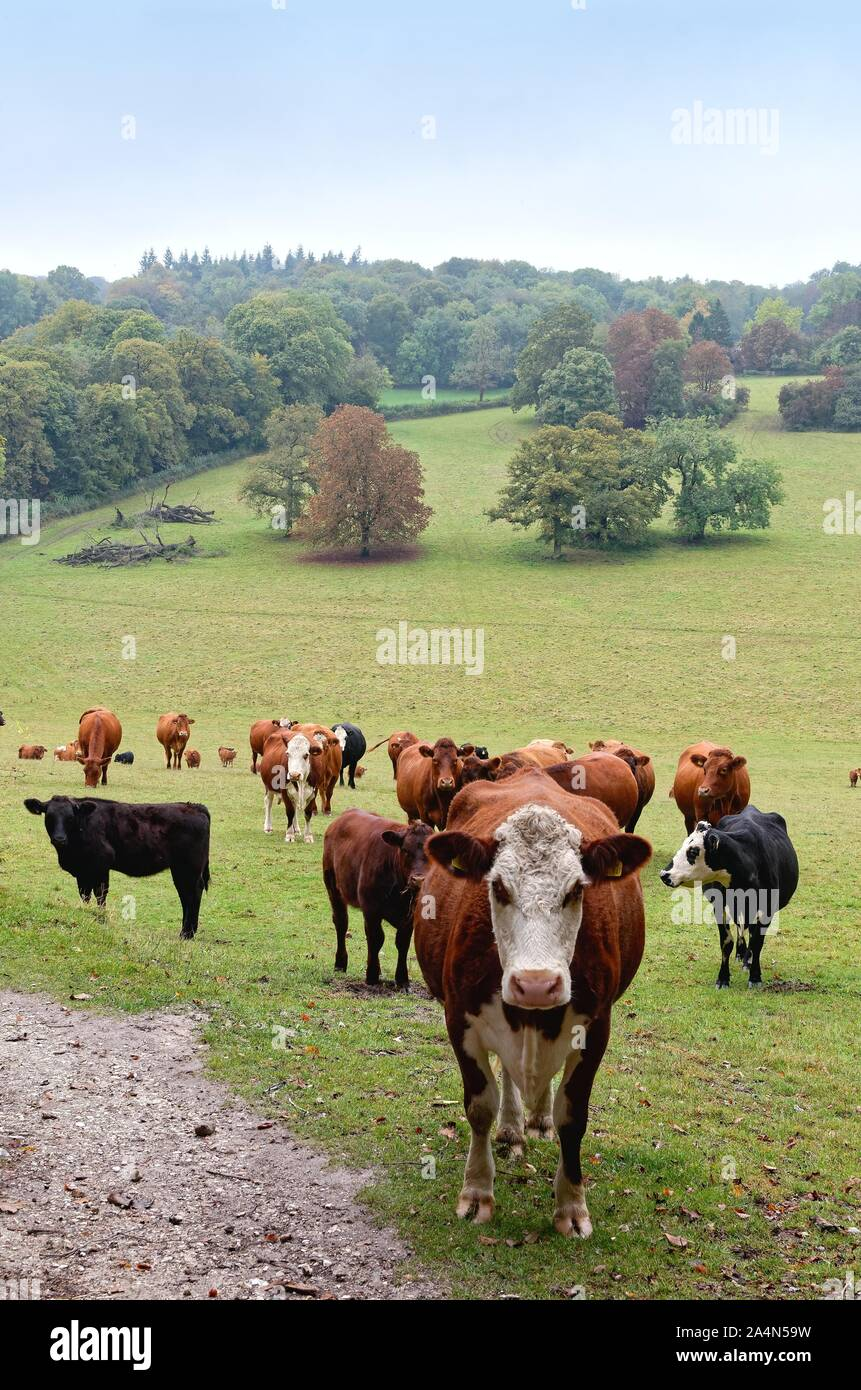 Cows In A Field : field, Brown, Field, North, Downs, Ranmore, Common, Dorking, Surrey, England, Stock, Photo, Alamy