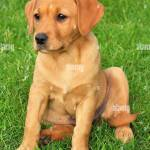 Red Fox Labrador Puppy On Lawn Stock Photo Alamy
