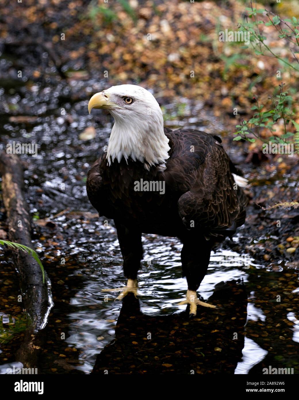 Eagle Talon Bird : eagle, talon, Eagle, Water, Displaying, Body,, Head,, Eye,beak,, Talons, Foliage, Background, Surrounding, Environment, Stock, Photo, Alamy