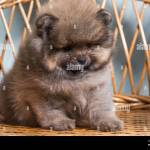 Sad Puppy Cute Puppy Of Miniature Pomeranian Spitz Zwergspitz Or Dwarf Spitz On A Chair Small Dog Is Two Month Old Stock Photo Alamy
