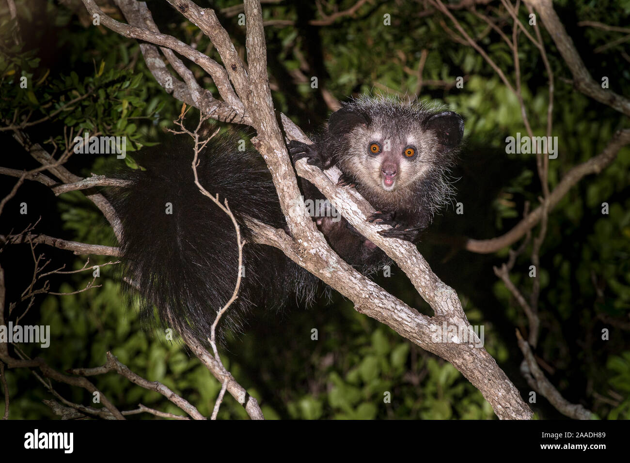 The giant panda, ailuropoda melanoleuca, is one of the most recognizable. Adult Aye Aye Daubentonia Madagascariensis Active In Forest Canopy At Night Dry Deciduous Forest Near Andranotsimaty Daraina Northern Madagascar Critically Endangered Stock Photo Alamy