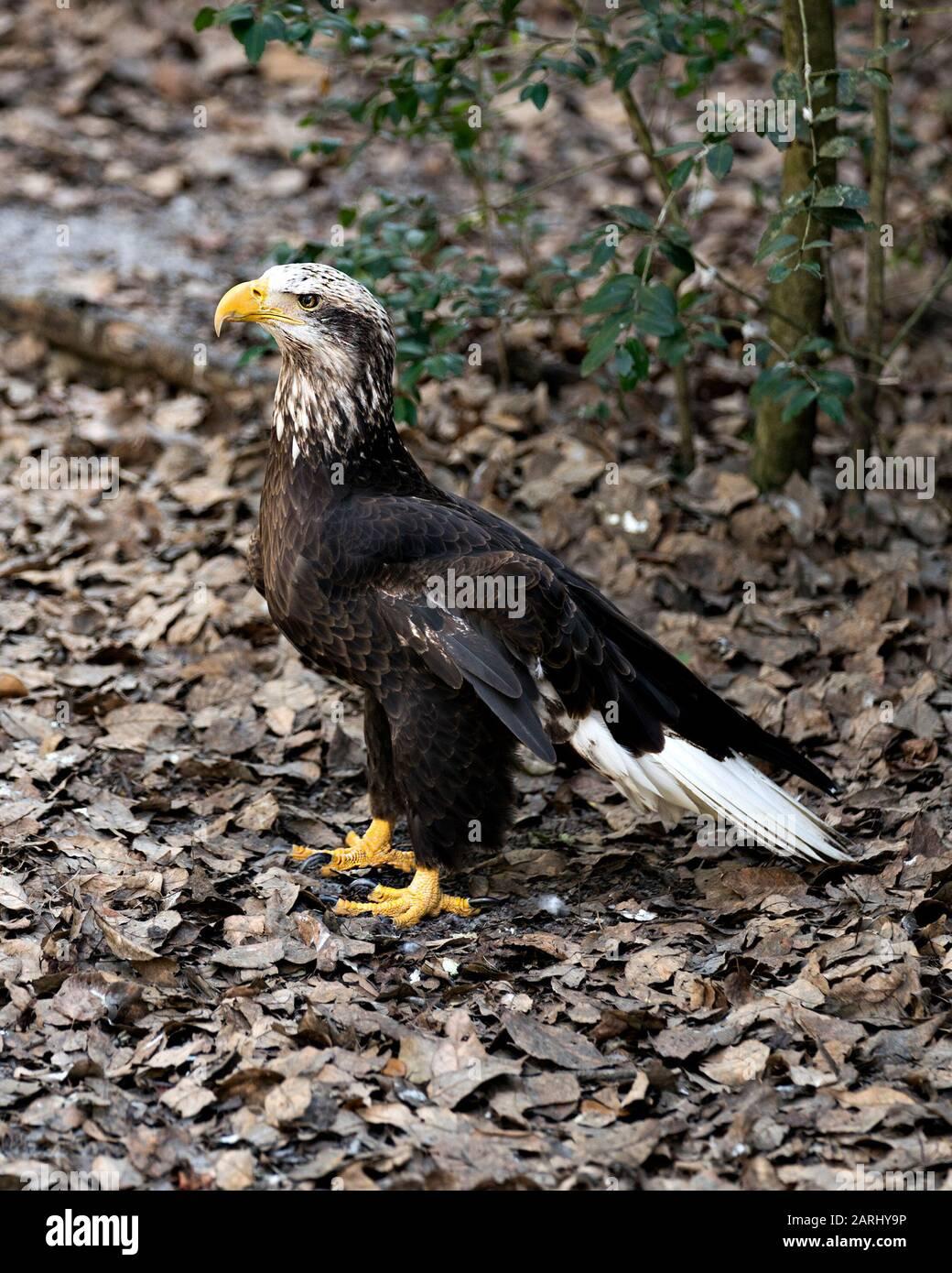 Eagle Talon Bird : eagle, talon, Eagle, Juvenile, Close-up, Profile, Displaying, Feathers,, White, Head,, Beak,, Talons,, Plumage,, Tail,, Surrounding, Environ, Stock, Photo, Alamy