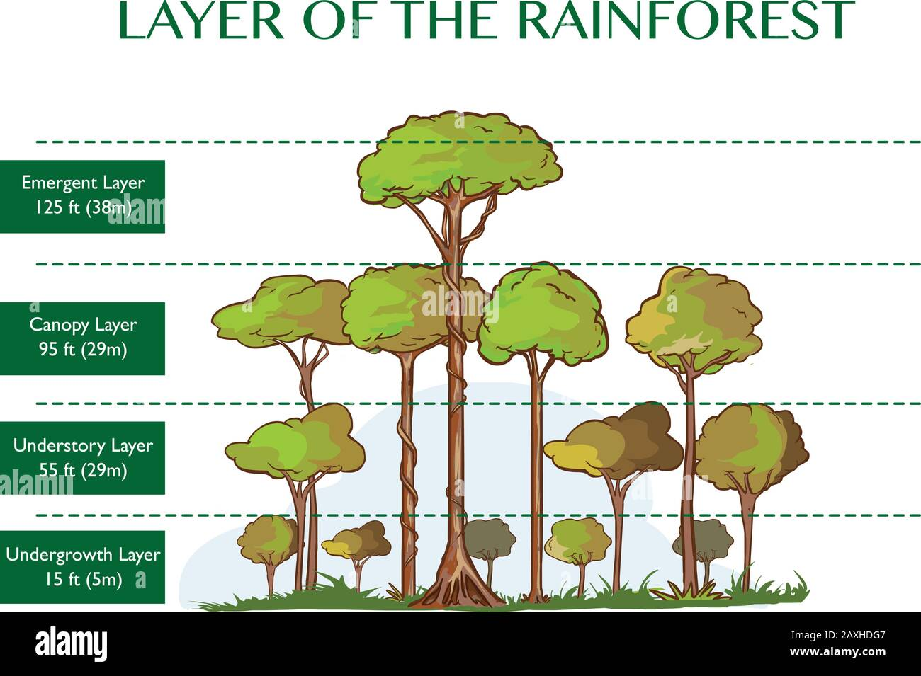 Vector Illustration Of The Rainforest Layers Stock Vector