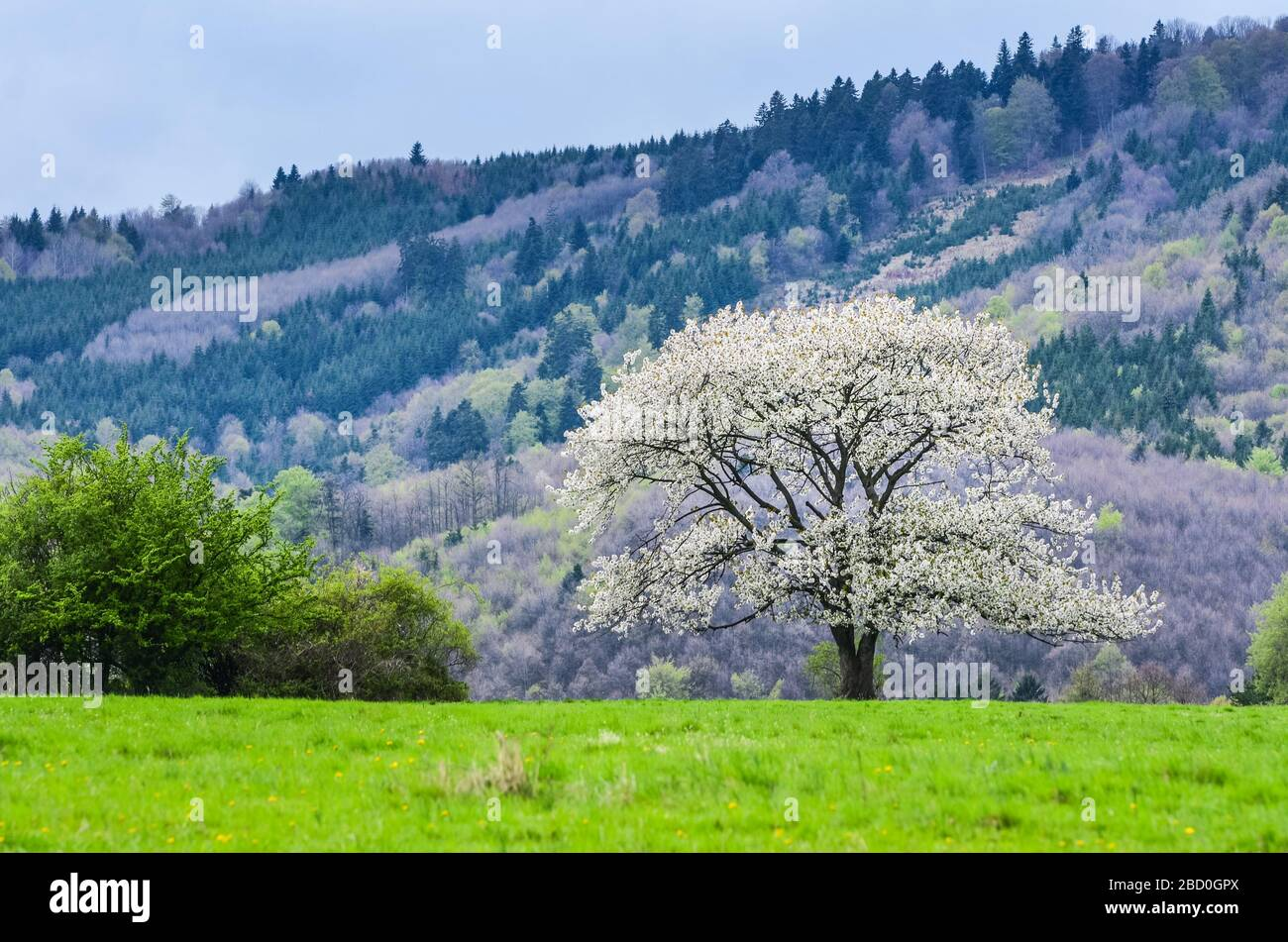 images Spring Scenery Wallpaper https www alamy com beautiful spring scenery white flowers cherry trees on nice meadow full of green grass blue sky and majesty forest in background wallpaper with spa image352211074 html