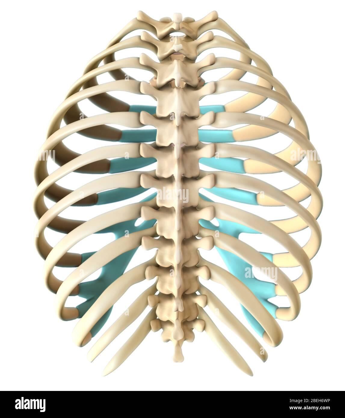 Rib Cage Anatomy Posterior : anatomy, posterior, Human, Resolution, Stock, Photography, Images, Alamy
