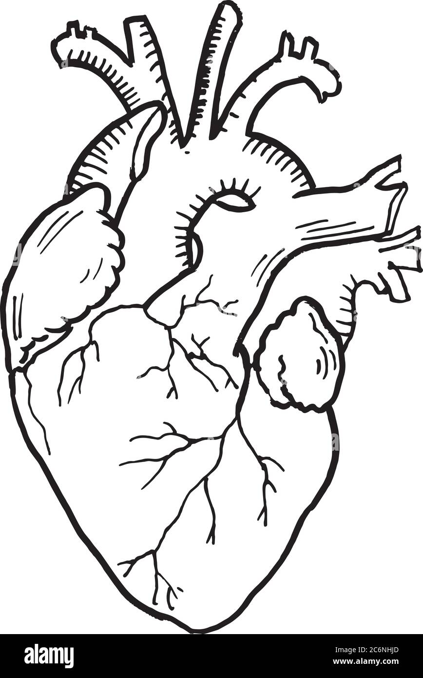 Contour Vector Outline Drawing Of Human Heart Organ Medical Design Editable Template Stock Vector Image Art Alamy