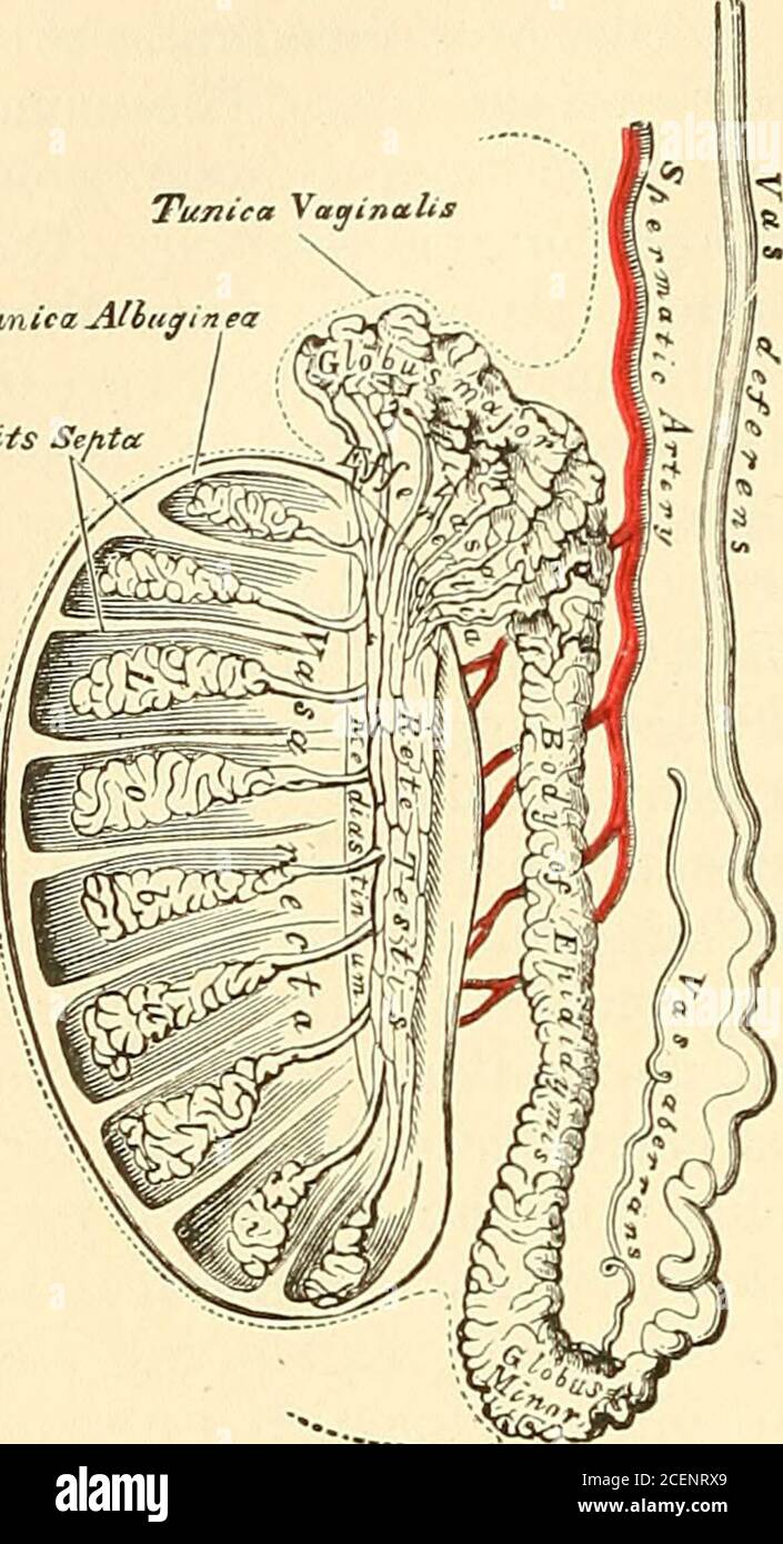 Vesicula Seminalis : vesicula, seminalis, Anatomy,, Descriptive, Surgical., Then,, Becoming, Narrowed, Prostate,unites, Vesicula, Seminalis, Ejaculatory, Duct., Thevas, Deferens, Presents
