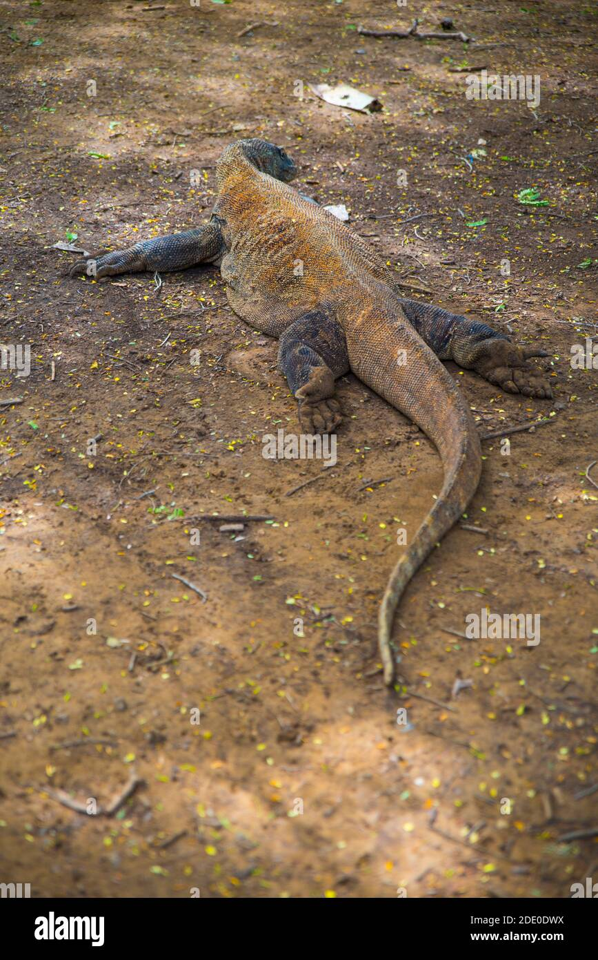 Prehistoric Komodo Dragon : prehistoric, komodo, dragon, Komodo, Dragon,, Largest, Lizard, World, Walks, Ground., Dangerous, Carnivore, Prehistoric, Animal., Island,, Indonesia,, Stock, Photo, Alamy