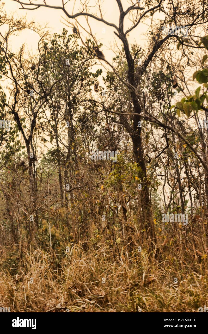 Dry tropical forests are perhaps the most extensive vegetation type in the. Tropical Mountain Forest In Winter During The Dry Season Deciduous And Semi Deciduous Tree Species Northern Thailand Stock Photo Alamy