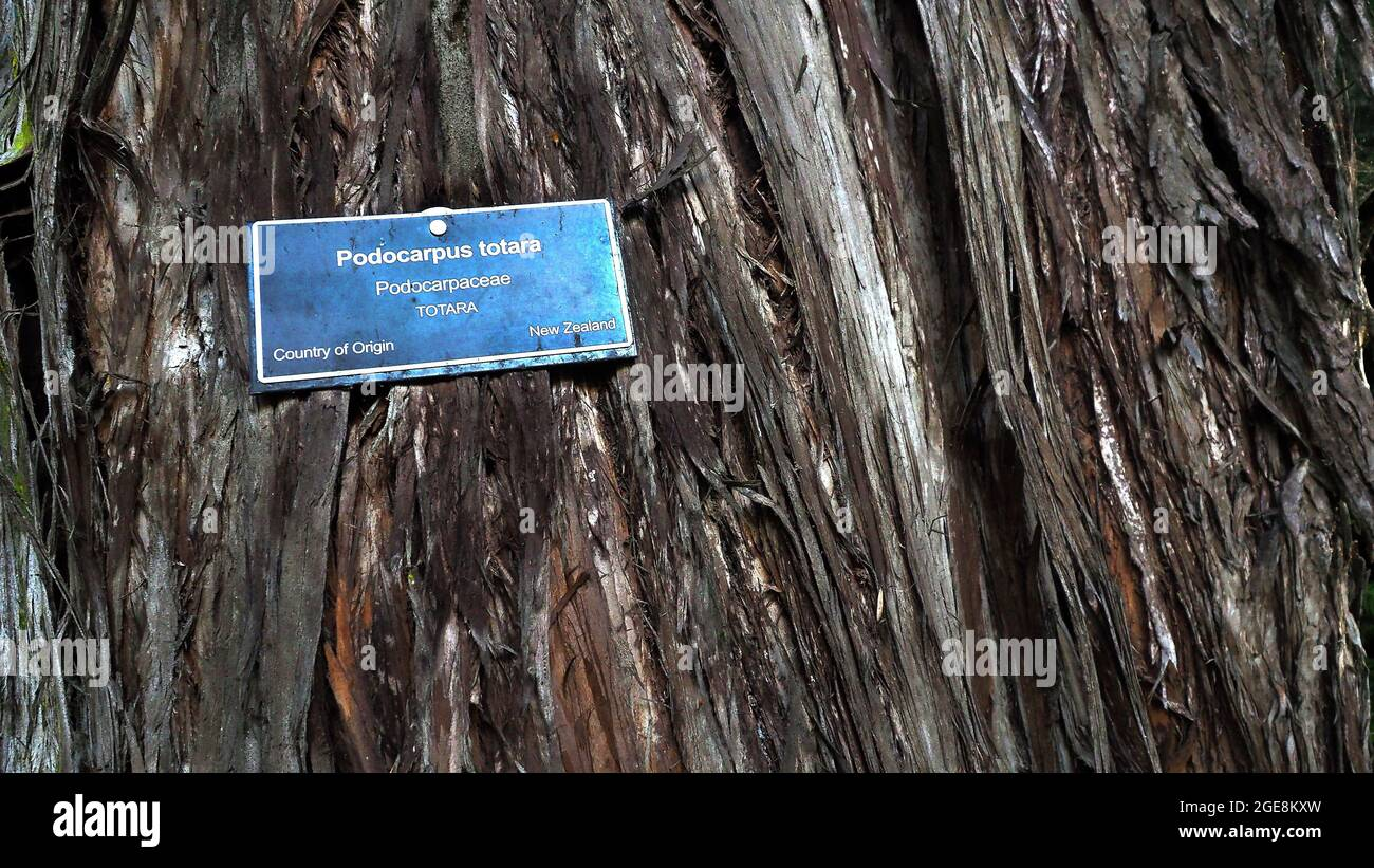 Tāne's tree trust agm reports: Totara Tree High Resolution Stock Photography And Images Alamy