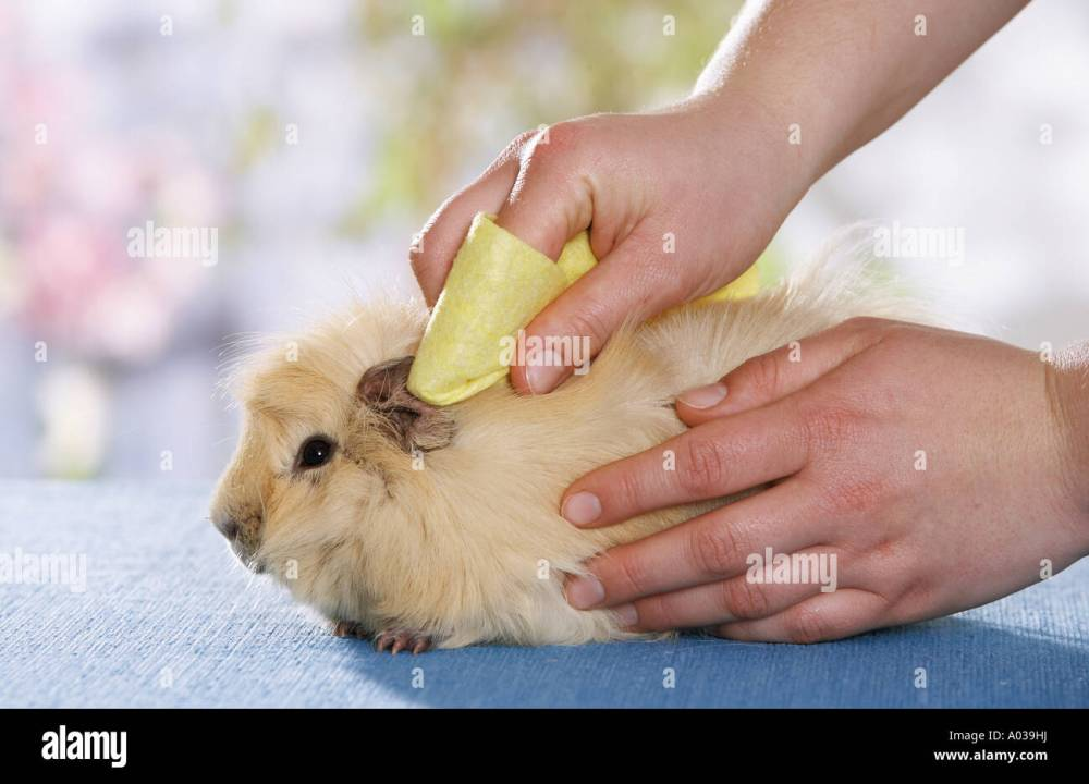medium resolution of guinea pig cleaning ears stock image