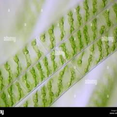 Spirogyra Cell Diagram Steering Wheel Spacer 5mm Stock Photos And Images Alamy