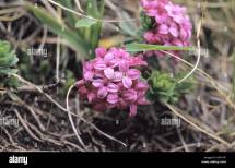 Close- Of Daphne Cneorum Flowers In Pirin National Park