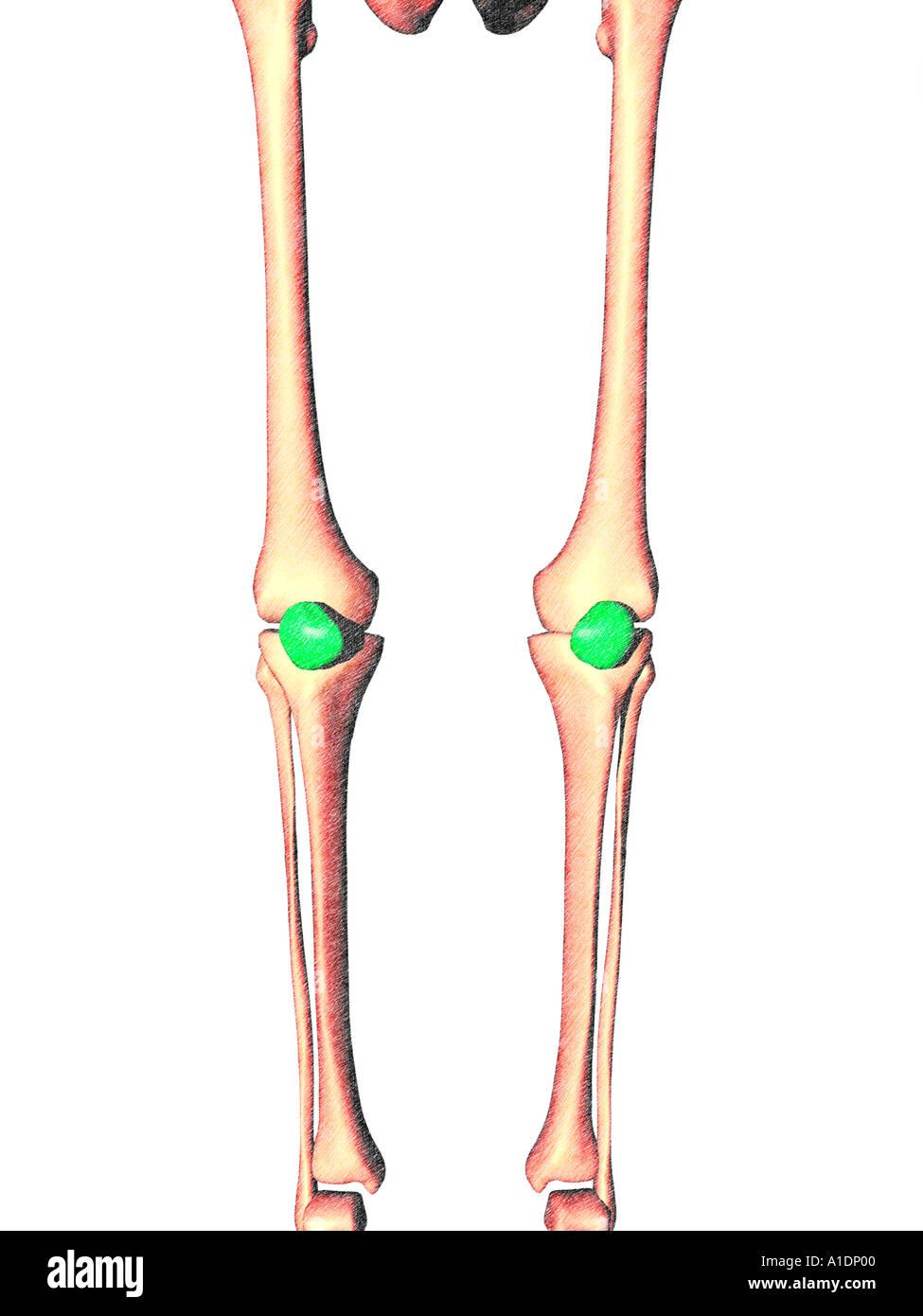 hight resolution of illustration of patella highlighted on legs