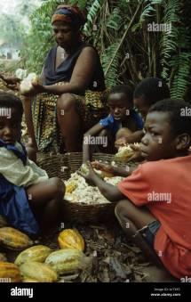 Cocoa In Ghana Stock &
