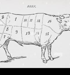 drawing of bullock marked to show 18 different cuts of meat stock image [ 1300 x 956 Pixel ]