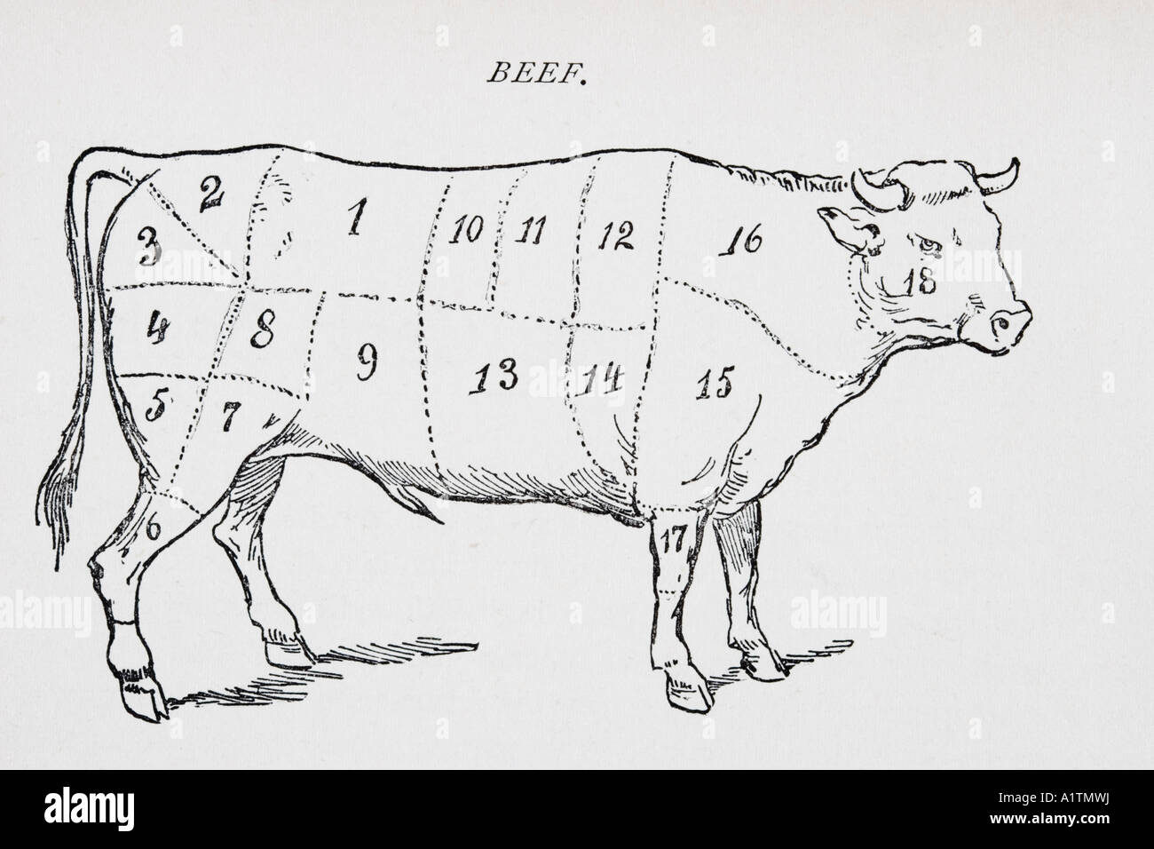 hight resolution of drawing of bullock marked to show 18 different cuts of meat stock image