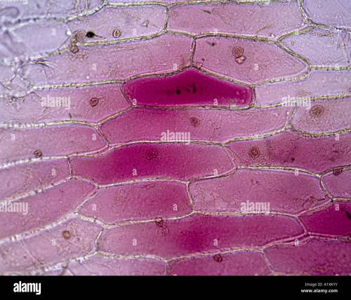 small resolution of red onion epidermal cells showing cytoplasm and nuclei red color is natural not