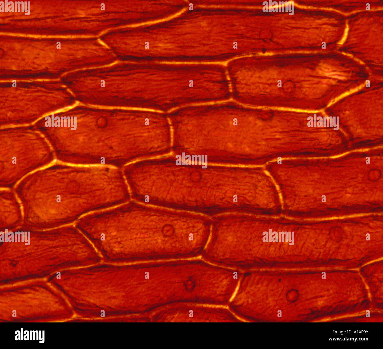 onion cell diagram r33 stereo wiring cells stock photos and images alamy