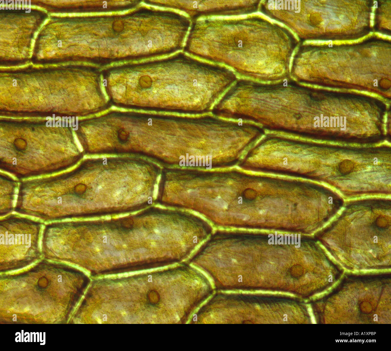 onion cell diagram 3 way electrical switch cells stock photos and images alamy