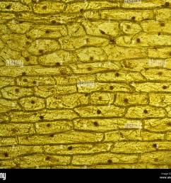onion skin cells epidermal cells stained in iodine live 100x stock image [ 1300 x 1141 Pixel ]