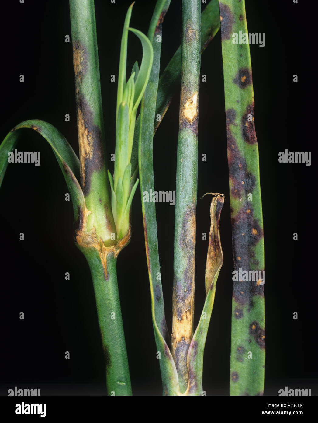 Dianthus Leaf Spot Septoria Dianthi Infection On Stem And