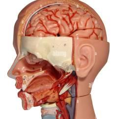 Inside Skull Diagram Case Tractor Wiring Anatomiemodell Anatomy Model Human Head Stock Photo 11346218