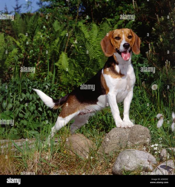 Beagle. Adult Dog Standing Roxk Stock 2118411