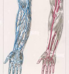 blood circulation arms [ 812 x 1390 Pixel ]