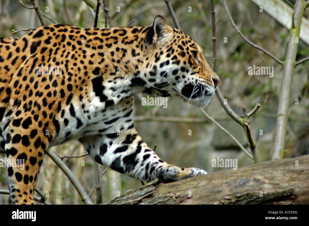 Related Keywords Amp Suggestions For Jaguar Edinburgh Zoo