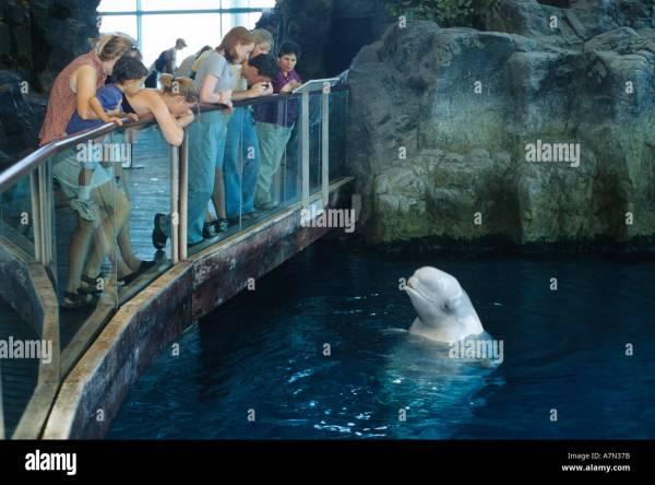 Visitors View Beluga Whale Shedd Aquarium In