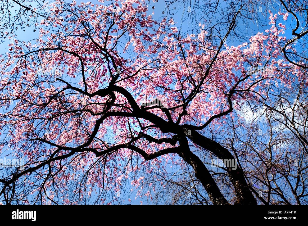 diagram the parts of cherry blossom tree 2001 toyota camry wiring in nijo castle tokugawa ieyasu shogun