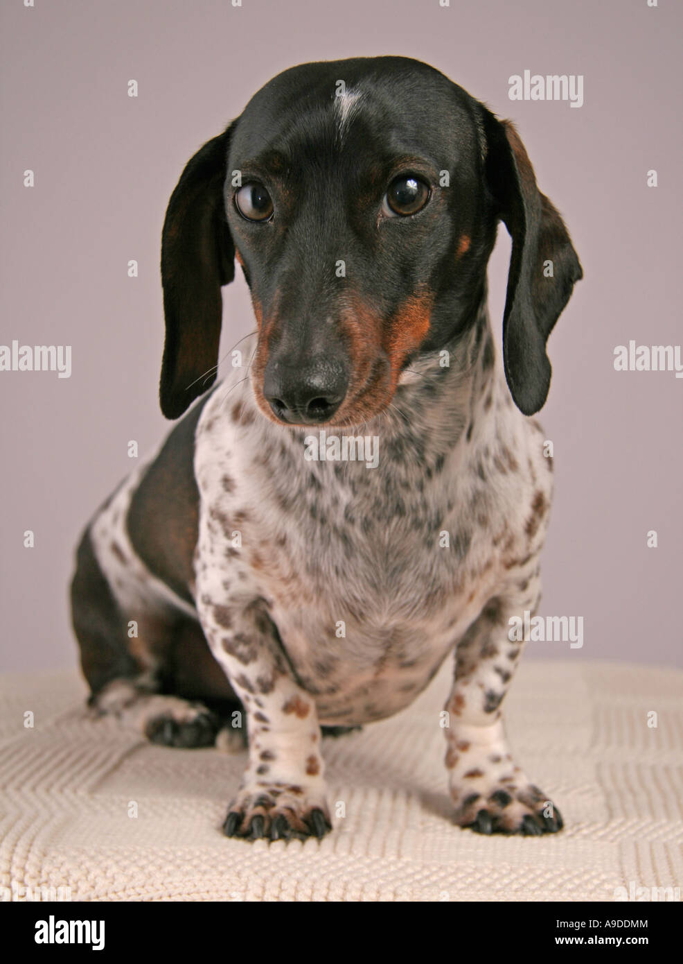 Black And White Piebald Dachshund : black, white, piebald, dachshund, Piebald, Dachshund, Resolution, Stock, Photography, Images, Alamy