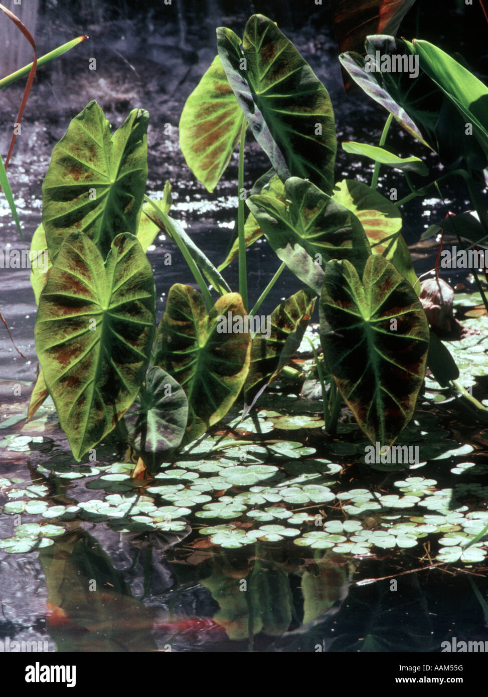 Ornamental Pond Plants