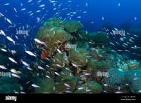 Coral scenery in Flower Garden in the Gulf of Mexico off ...